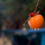 立冬の頃、柿の収穫もほぼ終わり 鳥たちの取り分で少し実を残します