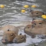 冬至で柚子湯に浸かるカピバラ