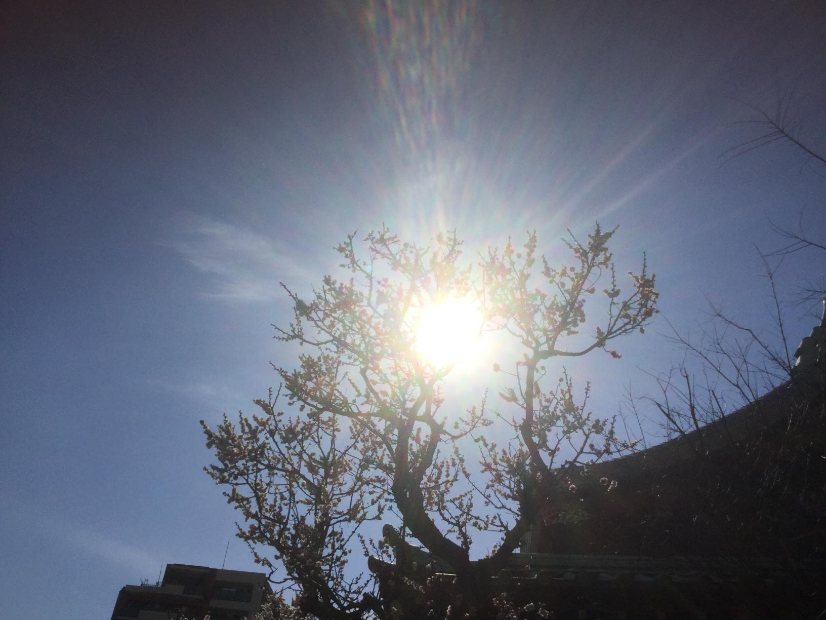 眩い春の陽射しとほころぶ梅、